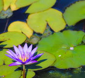 Blue Lotus Water Lily Nymphaea nouchali. Nymphaea nouchali, often known by its synonym Nymphaea stellata, or by common names blue lotus, star lotus, red and blue Royalty Free Stock Photo