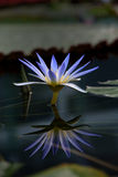 Blue Lotus Water Lily Royalty Free Stock Photos
