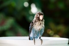 Blue lovebird is wet while taking a bath on blurred garden backg. Blue lovebird parrot is wet while taking a bath on blurred garden background Royalty Free Stock Photo