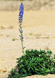 Blue lupin Stock Image
