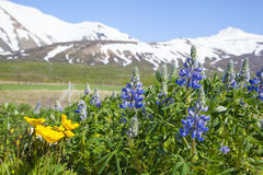 Blue lupin flowers on a background of snow mountains Stock Photo