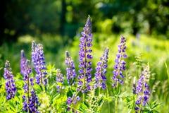 Blue lupine Royalty Free Stock Photos