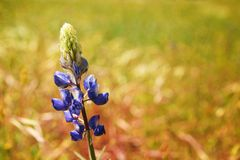 Blue lupine Royalty Free Stock Photos