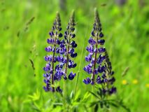 Blue lupine Stock Photos