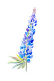 Blue lupine watercolor vector illustration