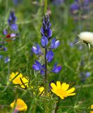 Blue lupine among wild flowers. Wild flowers of blue lupine Royalty Free Stock Images