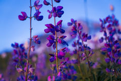 Blue lupine wildflower Stock Photography