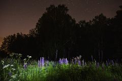 Blue lupines on field. The beautiful night scenery. Slow shutter speed. Royalty Free Stock Image