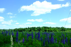 Blue lupines on field Stock Photo
