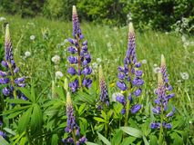 Blue lupines in a summer field. Flora, floral, bloom, blooming, botany, meadow, greeting, card, afternoon, sunny, europe stock photography
