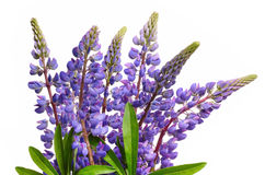 Blue lupines Stock Photography