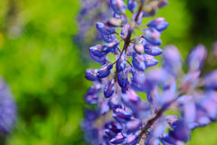 Blue lupins Royalty Free Stock Photography