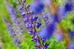 Blue lupins Stock Image