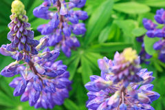Blue lupins Stock Images