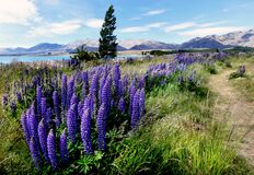 The blue lupins. Stock Photos