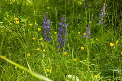 Blue lupins in the grass stock photo