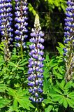 Blue Lupins. Royalty Free Stock Photography