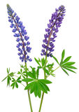Blue lupinus flower Royalty Free Stock Image