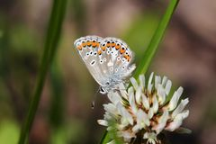 Blue lycaenidae butterfly on the meadow wildflower Royalty Free Stock Images