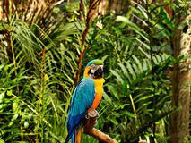 Blue Macaw_1 Royalty Free Stock Images