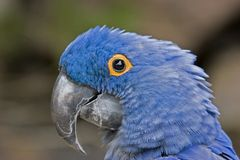 Blue Macaw. A blue macaw viewed close up Royalty Free Stock Image