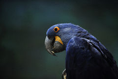 Blue Macaw Royalty Free Stock Photography