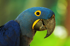 Blue Macaw. Blue and yellow macaw's portrait stock photography