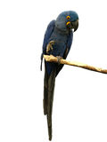 Blue Macaw. Parrot perched on a branch, white background royalty free stock image