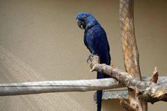 Blue macaw bird Stock Images