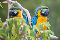 Blue macaw. Close up shot of blue macaw Royalty Free Stock Image