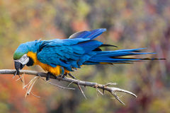 Blue macaw. Close up shot of blue macaw portrait Royalty Free Stock Photos