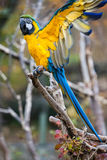 Blue macaw. Close up shot of blue macaw portrait Royalty Free Stock Photography