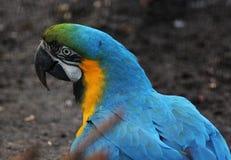Blue macaw head Royalty Free Stock Photo