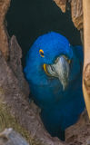 Blue Macaw hiding in a tree trunk hollow Stock Image
