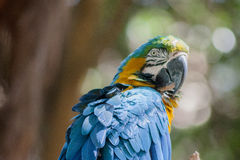 Blue Macaw Itatiba Brazil Royalty Free Stock Photos