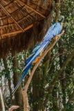 Blue Macaw Itatiba Brazil Stock Photo