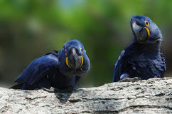 Blue Macaw Royalty Free Stock Photo