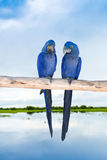 Blue Macaw in Pantanal, Brazil Royalty Free Stock Images