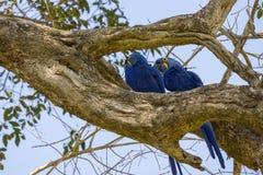 Blue Macaw in Pantanal. Rear view of Blue Macaw in Brazilian Pantanal Stock Photos