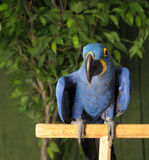 Blue macaw parrot Stock Images