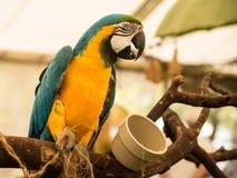 Blue Macaw Parrot Stock Photos