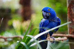 Blue macaw parrot on a branch Royalty Free Stock Images