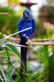Blue macaw parrot on a branch Royalty Free Stock Image