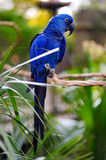 Blue macaw parrot on a branch Stock Images