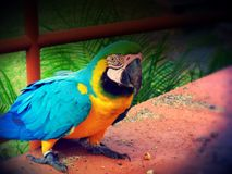 Blue Macaw parrot closeup Stock Photo