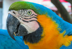 Blue macaw parrot royalty free stock photos