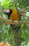 Blue macaw parrot stock image