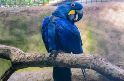 Blue macaw parrot royalty free stock photography