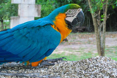 Blue macaw parrot royalty free stock images