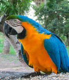 Blue macaw parrot. Tropical colorful bird Royalty Free Stock Images